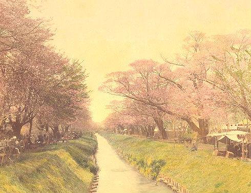 「毎年4、5人は死んだよ」小金井桜の戦前の花見を知る人物が衝撃の告白!